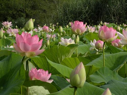 Champ de lotus début juillet à l'étang de Fontmerle
