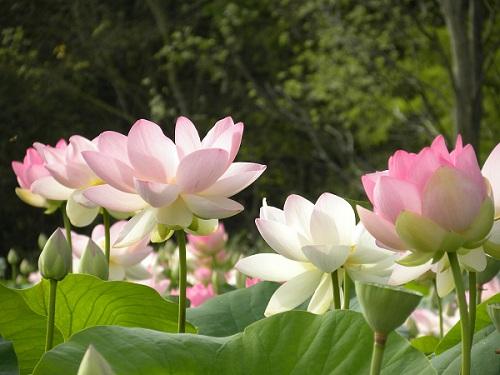 Fleur de lotus à Mougins